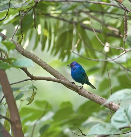 indigo: Male indigo bunting perched on a tree branch Stock Photo