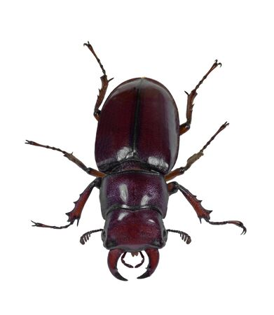 pinchers: Stag beetle isolated on a white background