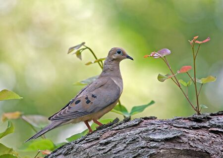 Mourning dove perched on a tree photo