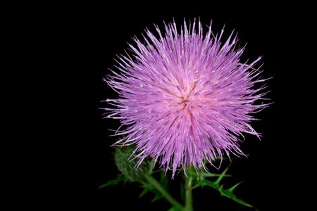 flowerhead: Milk thistle flowerhead isolated on a black background