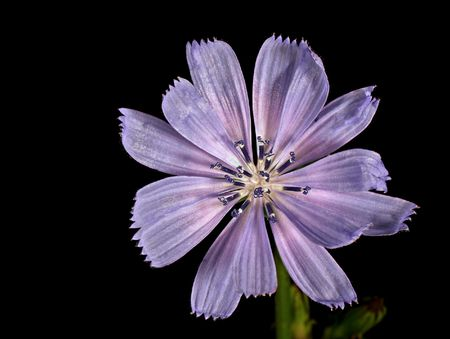 chicory flower: Closeup of a chicory flower isolated on black