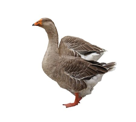 Domestic goose isolated on a white background photo
