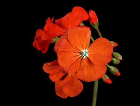 Red geranium flower isolated on a black background photo