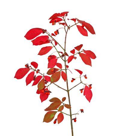 burning bush: Branch of a burning bush {euonymus alata) isolated on white Stock Photo