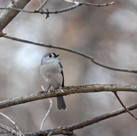 Tufted titmouse perched on a tree branch