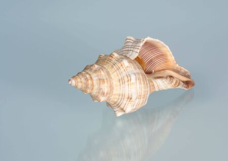 Conch sea shell on a blue background Stock Photo - 4169508