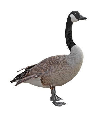 Closeup of a canada goose isolated on white photo