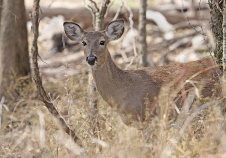 virginianus: White-tailed deer standing in the woods Stock Photo