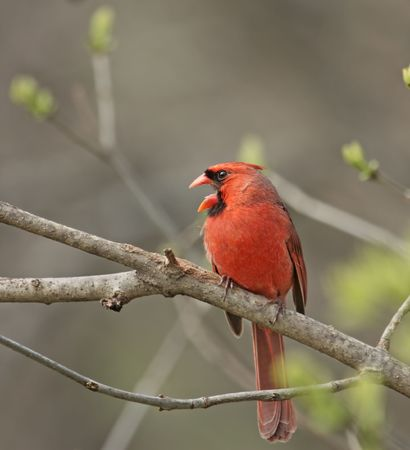 redbird: Male northern cardinal with mouth open perched on a tree branch