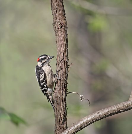 downy: Male downy woodpecker perched on a tree