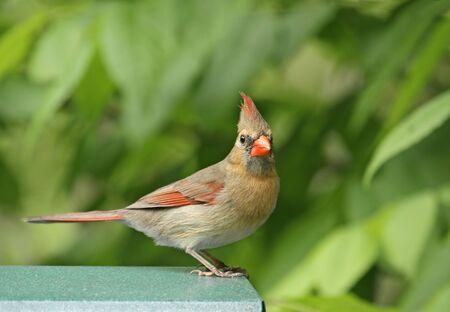 Female northern cardinal perched on a bird feeder