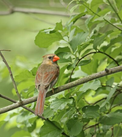 redbird: Female northern cardinal perched on a tree branch