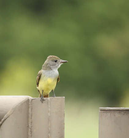 crested: Great crested flycatcher perched on a fence post