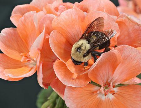 impatiens: Bumble Bee oriental com�n (Bombus impatiens) sobre una flor de geranio Foto de archivo