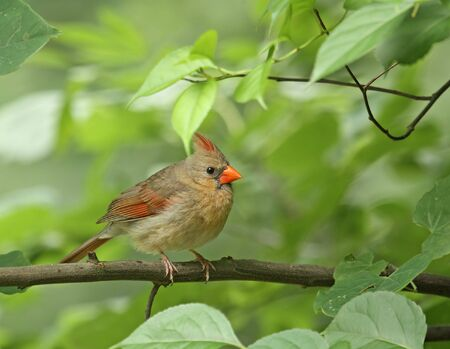 female cardinal: Female cardinal (cardinalis cardinalis) perched in a tree branch Stock Photo