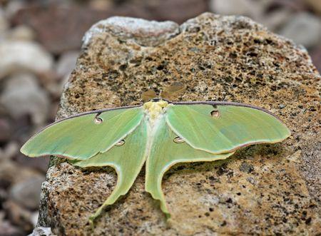 Luna moth (actias luna) on a rock