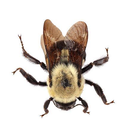 bombus: Common eastern bumblebee (Bombus impatiens) isolated on white
