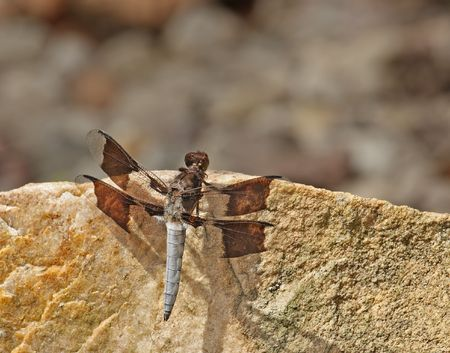 Common whitetail dragonfly (Platemis lydia) on a rock