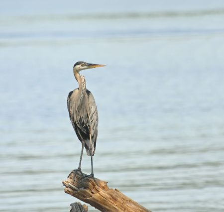 herodias: Great blue heron (Ardea herodias) standing on a log in a lake