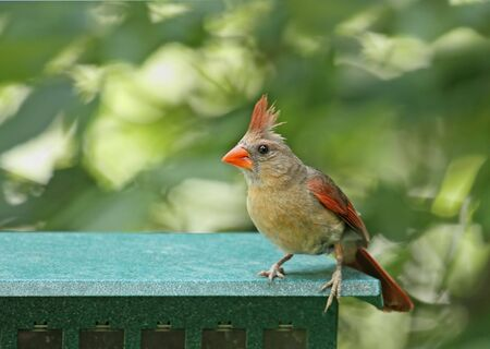 redbird: Female northern cardinal (Cardinalis cardinalis) standing on a bird feeder
