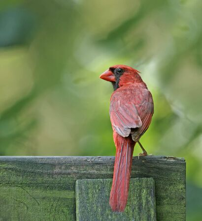 redbird: Male northern cardinal (Cardinalis cardinalis) perched on a fence