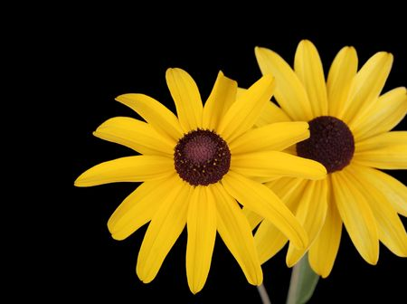 Two yellow daisies isolated on black background photo