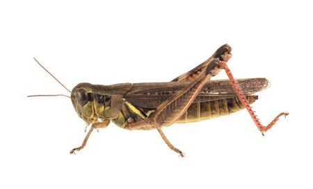 Short-horned grasshopper isolated on a white background
