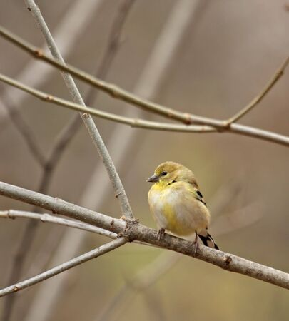 American goldfinch (Carduelis tristis) with winter plumage perched in a tree
