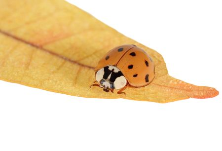 Asian lady beetle on the tip of a leaf isolated on white