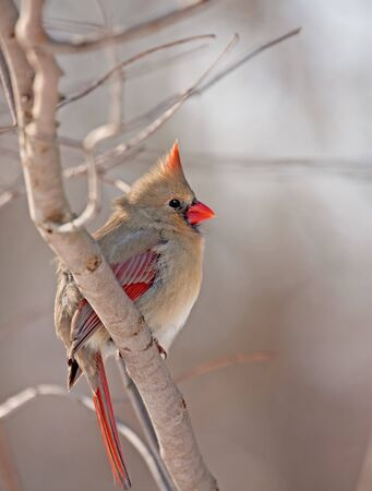 redbird: Female northern cardinal (Cardinalis cardinalis) perched on a tree branch