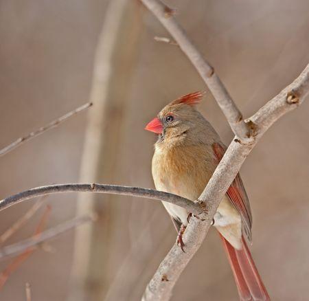 Female northern cardinal (Cardinalis cardinalis) perched on a tree branch photo