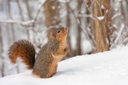 sciurus: Permanente de zorro ardilla (Sciurus niger) en la nieve buscando el cielo