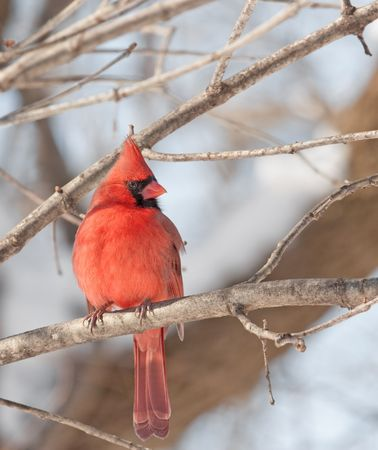 redbird: Male northern cardinal (Cardinalis cardinalis) perched on a tree branch Stock Photo