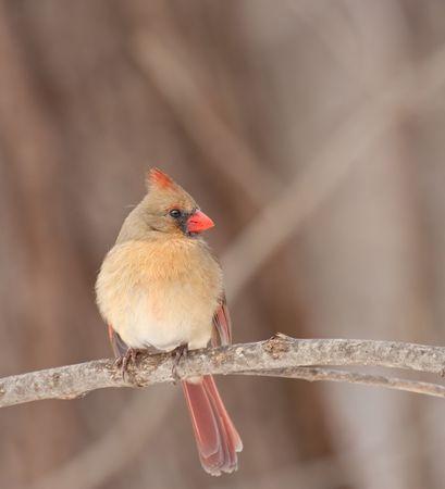 Female northern cardinal, Cardinalis cardinalis, perched on a tree branch photo