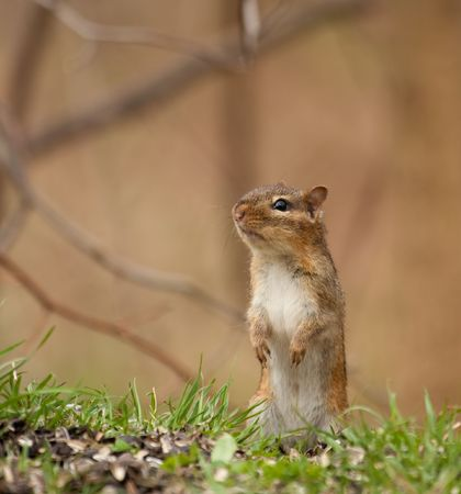 sitting on the ground: Eastern chipmunk, Tamias striatus, sitting up on the ground
