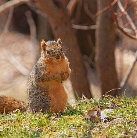 sitting on the ground: Fox squirrel, Sciurus niger, sitting up on the ground