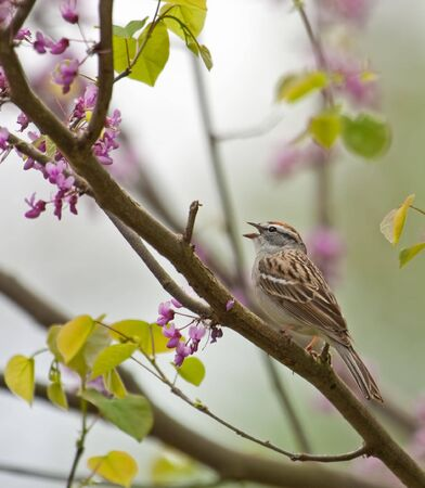 redbud tree: Chipping sparrow, Spizella paserina, singing perched on a blooming redbud tree Stock Photo