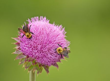 bee on flower: Two common eastern bumble bees, Bombus impatiens, on a thistle flower
