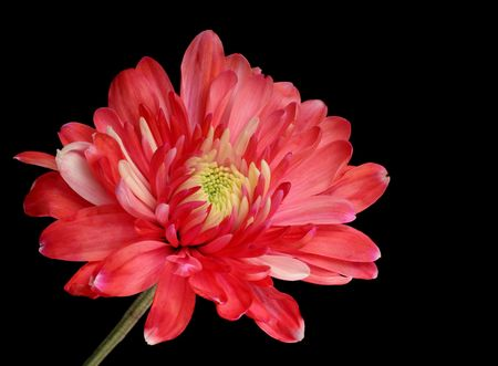 Red chrysanthemum isolated on a black background photo