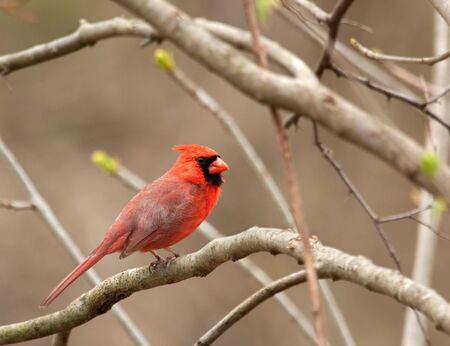 Male northern cardinal, Cardinalis cardinalis, perched on a tree branch photo