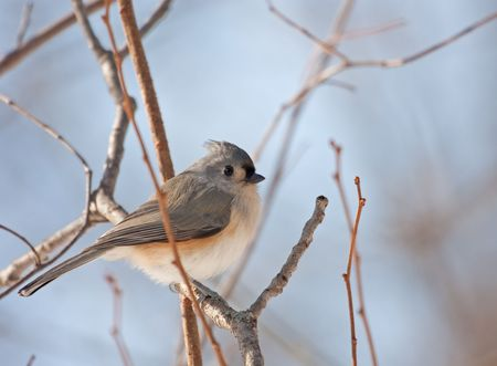 Tufted titmouse, Baeolophus bicolor, perched on a tree branch photo