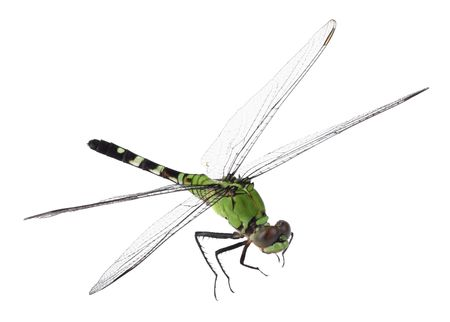 erythemis: Eastern pondhawk dragonfly, Erythemis simplicicollis, isolated on white