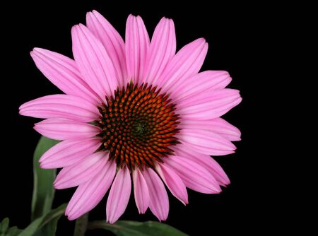 Purple coneflower, Echinacea, on a black background