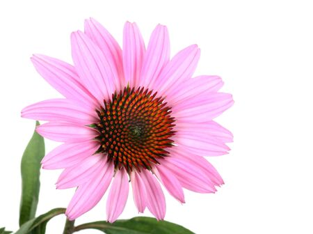 Purple coneflower, Echinacea, on a white background