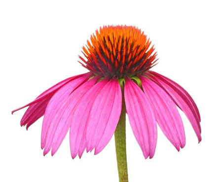 Purple coneflower, Echinacea, isolated on a white background Banco de Imagens
