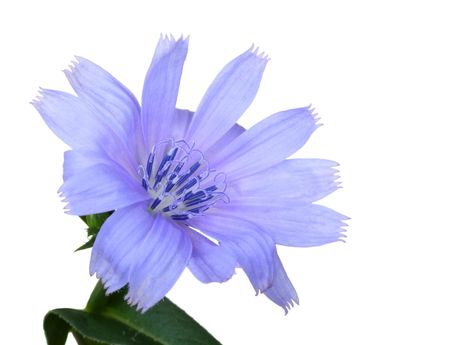 chicory flower: Chicory, Cichorium intybus, isolated on a white background Stock Photo