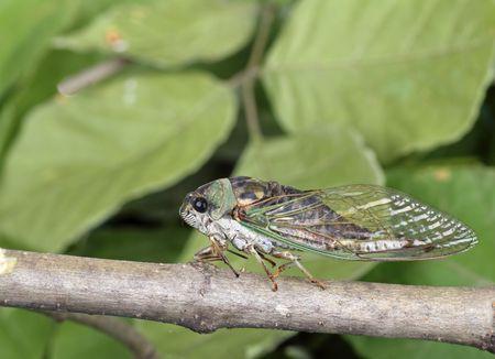 Annual cicada, Tibicen linnei, on a tree branch Banco de Imagens - 7484117