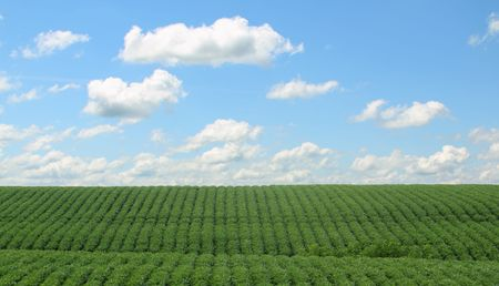 Rows of green soybeans against a blue sky with clouds photo