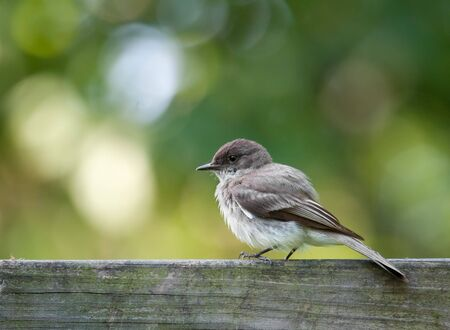 Eastern phoebe, Sayornis phoebe, perched on a fence