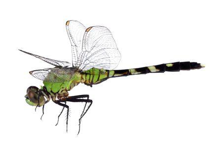 pondhawk: Eastern pondhawk dragonfly, Erythemis simplicicollis, isolated on white